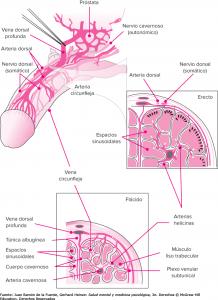 sexciencia fisiología de la erección